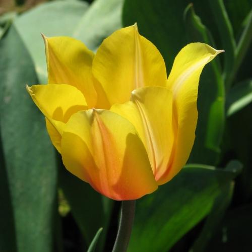 Tulip_yellow1