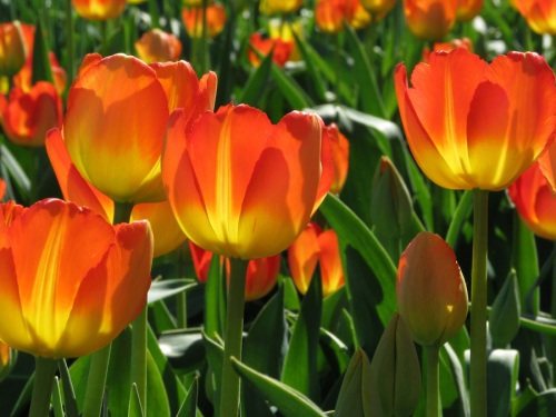 tulip04web