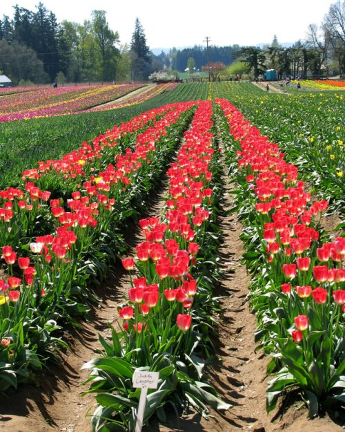 Tulip_field1