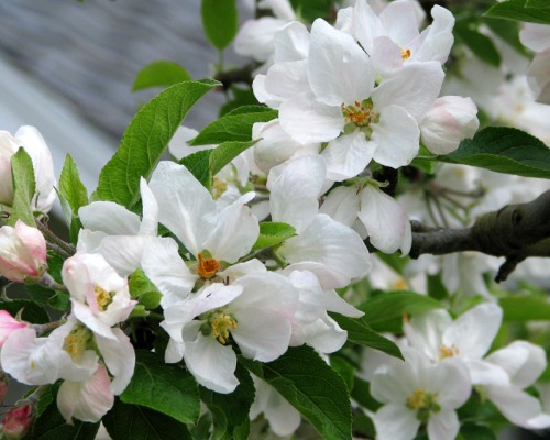 appleblossom1web1