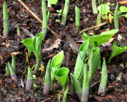 Hosta sprouts