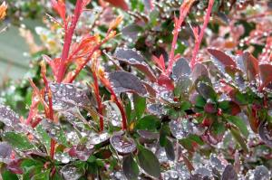 Berberis-wet3