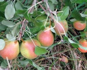 Pears1(blog)