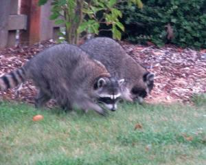 Raccoons1(blog)