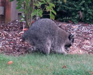 Raccoons2(blog)